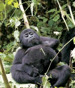 Фото №7 - Кинг Конги из дебрей Уганды