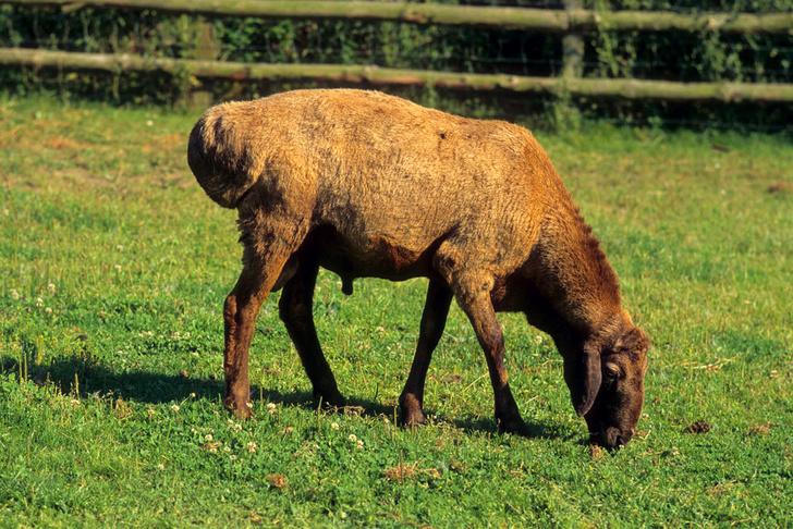Фото №3 - Зачем корове челка? 13декоративно-прикладных пород