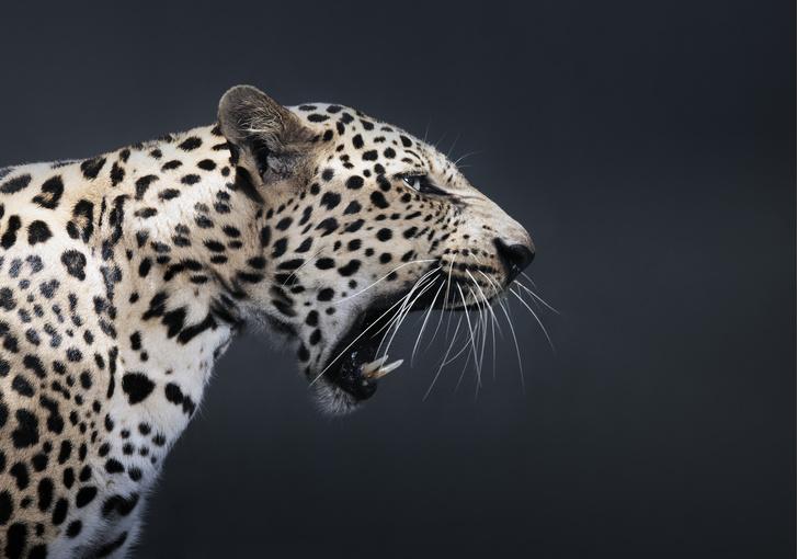 Фото №1 - Последние леопарды в Камбодже на грани исчезновения