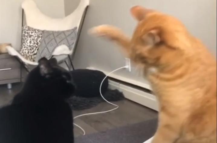 Фото №1 - Рыжий кот остановил кота-противника человеческим жестом (видео)