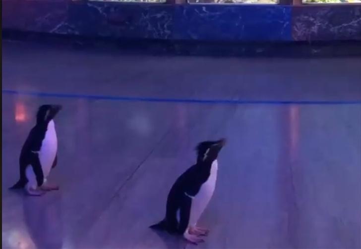 Фото №1 - В Чикаго из-за эпидемии пришлось закрыть океанариум, а экскурсии устраивать для пингвинов (видео)