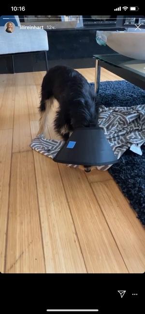 Фото №1 - Собака Лили Рейнхарт перенесла серьезную операцию после нападения