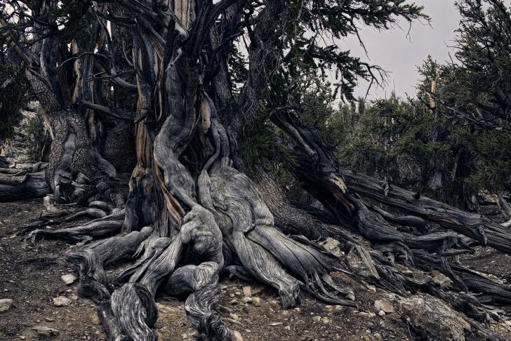 Фото №12 - Генералы среди деревьев: 10 удивительных фактов о гигантских секвойях