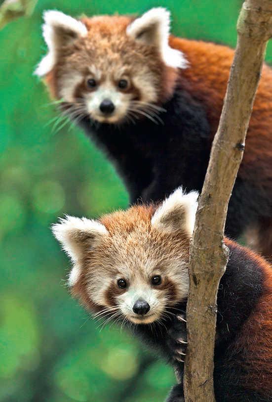 Фото №1 - Малая панда