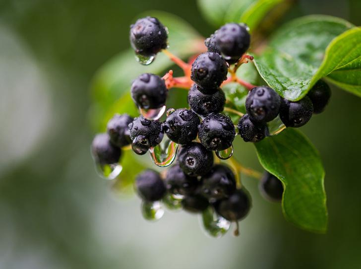 Фото №9 - В своем отечестве: самые полезные осенние ягоды