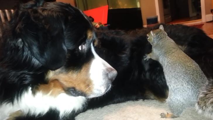 Фото №1 - Белка уморительно прячет орех в шерсти добродушного пса (видео)