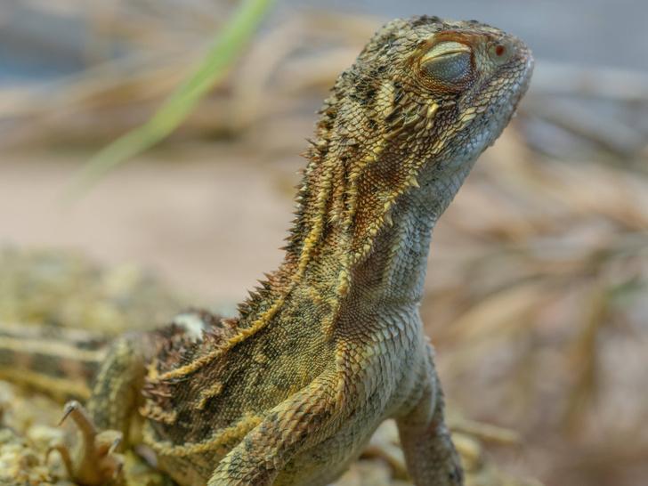 Фото №1 - «Безухие драконы» поселились недалеко от Канберры