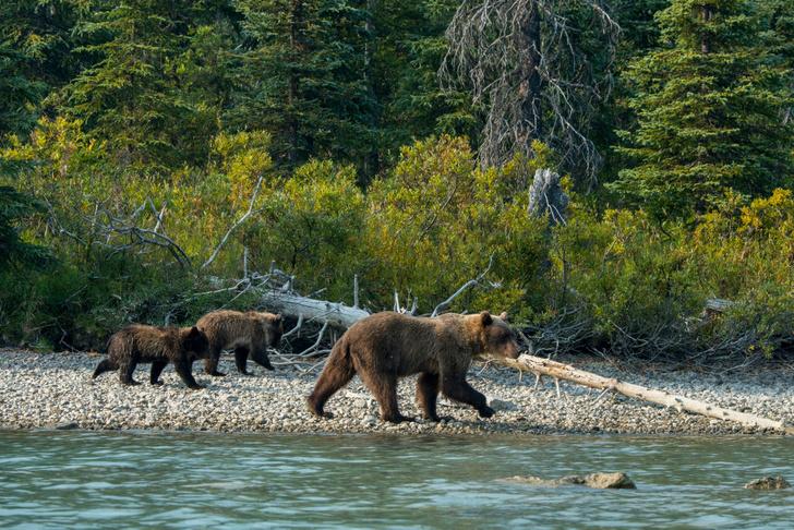 Фото №6 - По лесу идет: 5 интересных фактов о медведях на примере мультсериала «Маша и Медведь»