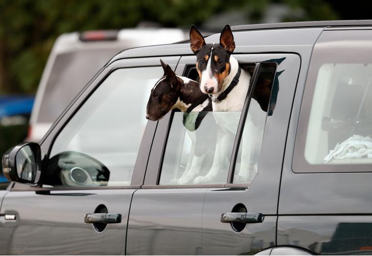 Фото №1 - Почему собаки любят высовывать голову из автомобиля