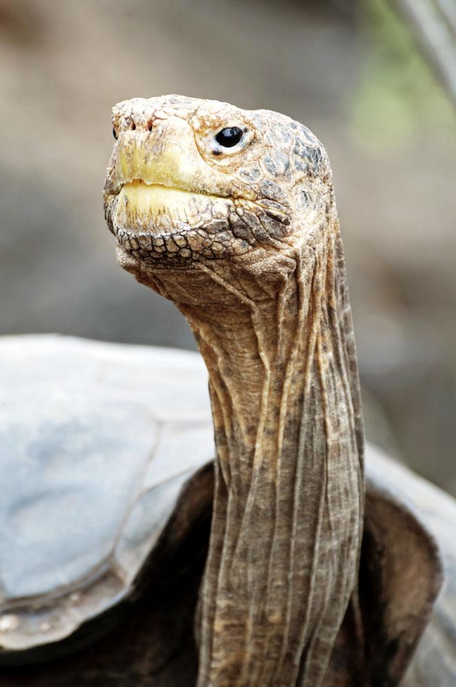 Фото №5 - Тише едешь— дольше будешь: долголетие и другие загадки гигантских черепах
