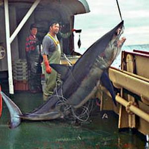 Фото №1 - Китай боится потерять лицо из-за акульих плавников