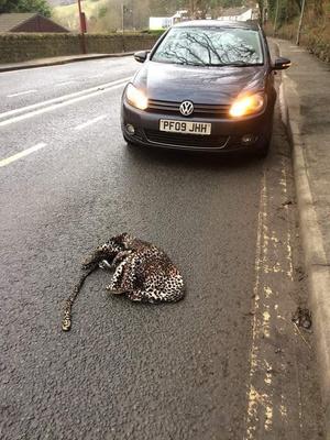 Фото №3 - Потерянный женский халат спровоцировал слухи о том, что из зоопарка сбежал леопард (фото)