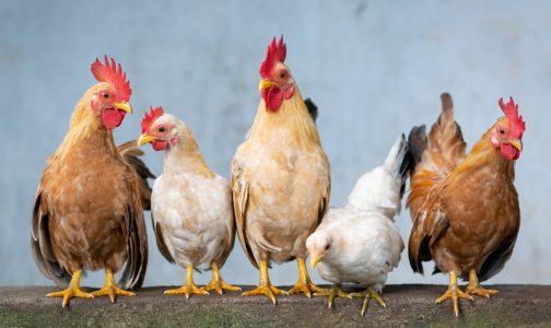 Фото №1 - На Филиппинах зафиксировали очаг высокопатогенного птичьего гриппа