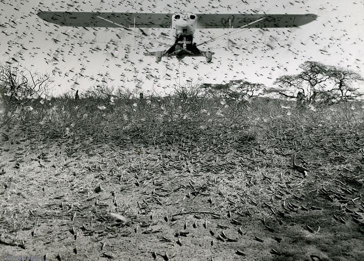 Фото №1 - Спутники помогут прогнозировать нашествие саранчи