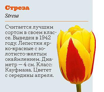 Фото №17 - Самые популярные сорта тюльпанов