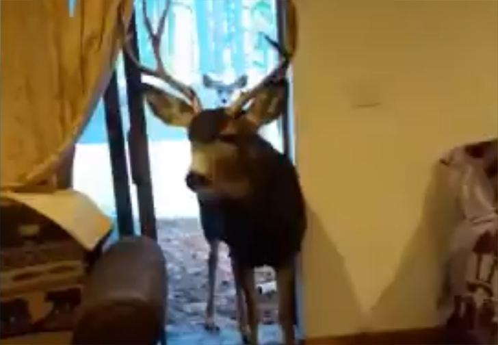 Фото №1 - Семья из Колорадо накрыла дома праздничный стол для диких оленей (видео)
