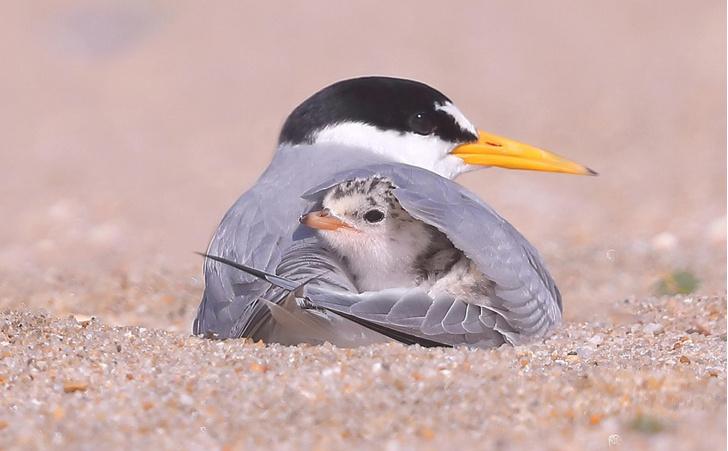 Фото №1 - Под материнским крылом