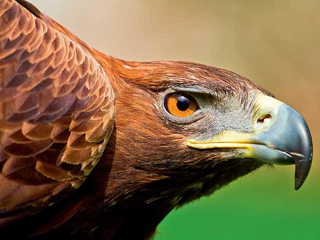 Фото №1 - Может ли орел быть близоруким?