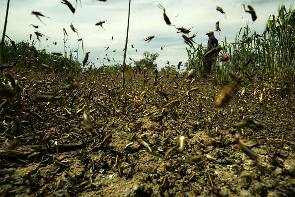 Фото №2 - Термитовый апокалипсис, восстание саранчи и еще 3 жутких нашествия насекомых