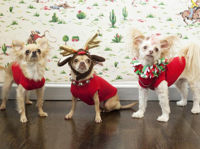 Фото №2 - Вырядился: забавные новогодние наряды домашних питомцев