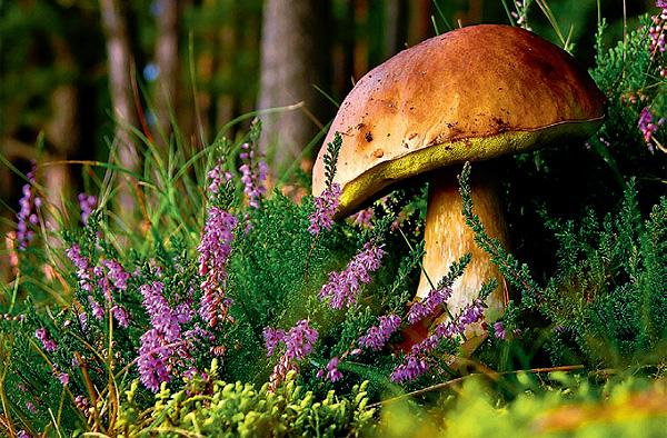 Фото №1 - Рожденные в спорах: интересные факты о грибах