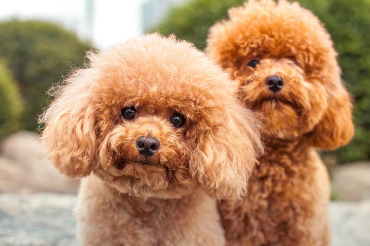 Фото №6 - 15 пород собак, которые не линяют
