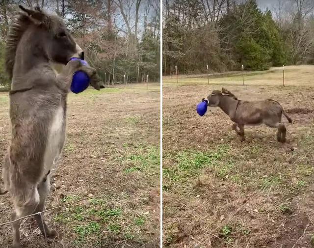 Фото №1 - Осел самозабвенно играет мячом (видео)