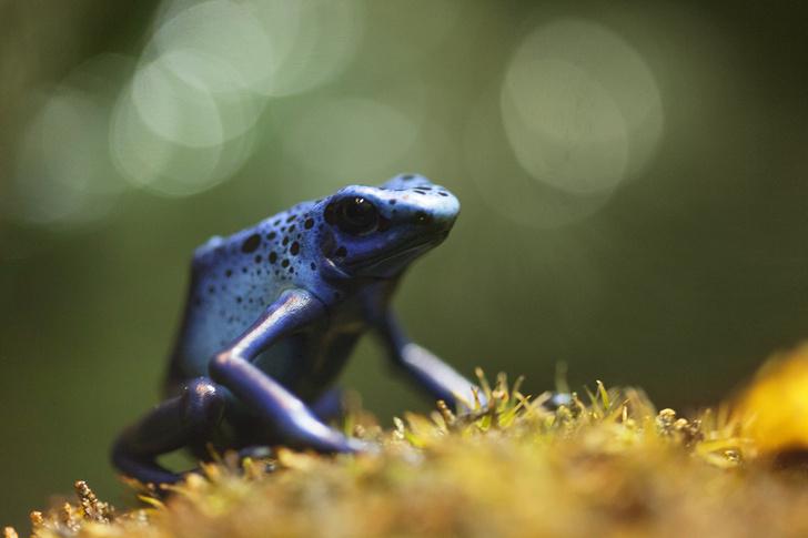 Фото №1 - Почему головастики ядовитой лягушки с рождения готовы к суровым условиям