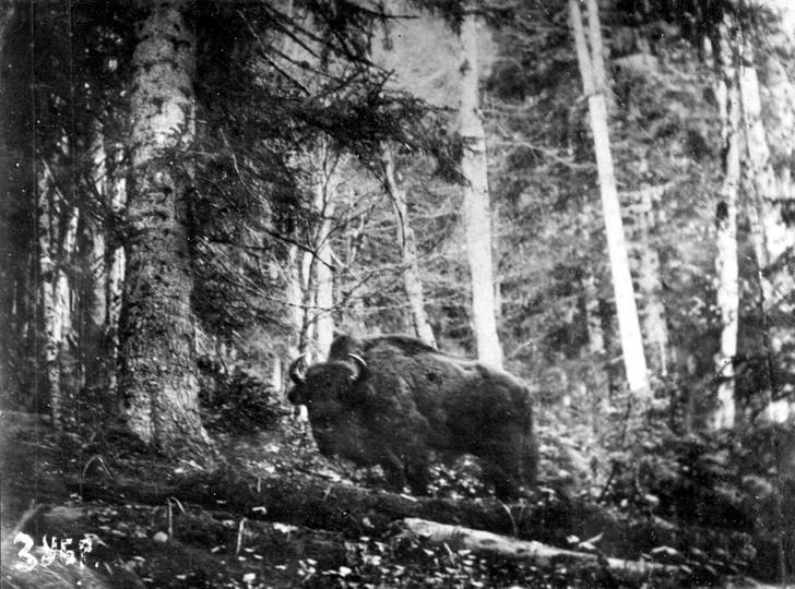 Фото №5 - Черная книга России: 5 истребленных животных, когда-то обитавших на территории нашей страны