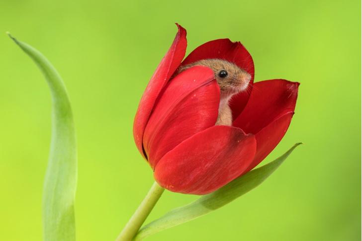Фото №1 - Сюрприз в тюльпане