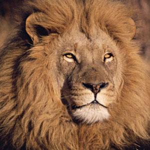 Фото №1 - Лев на свободе