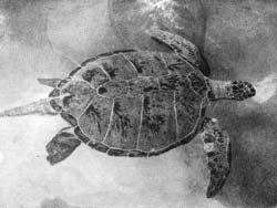 Фото №2 - Белые черепахи Кинтана Роо