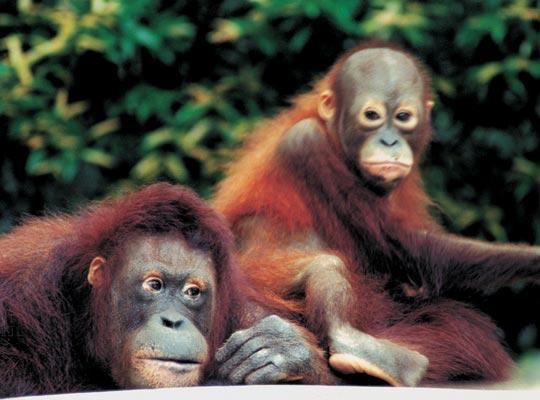Фото №1 - В семье не без примата