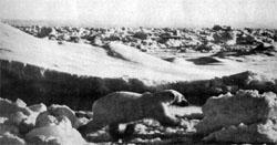 Фото №2 - Белые медведи живут рядом
