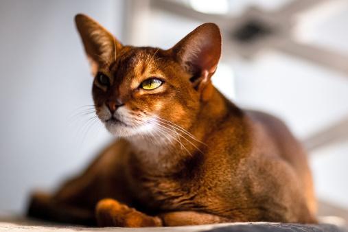 Фото №2 - Почти как люди: самые умные породы кошек