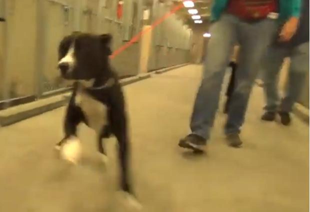 Фото №1 - Реакция пса Бенни, который только что узнал, что его забирают из приюта домой (видео)