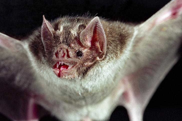 Фото №9 - Ужас, летящий на крыльях ночи: 7 самых необычных летучих мышей