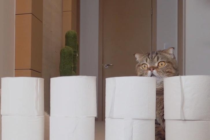Фото №1 - Коты перепрыгивают через растущую стену из туалетной бумаги (видео)