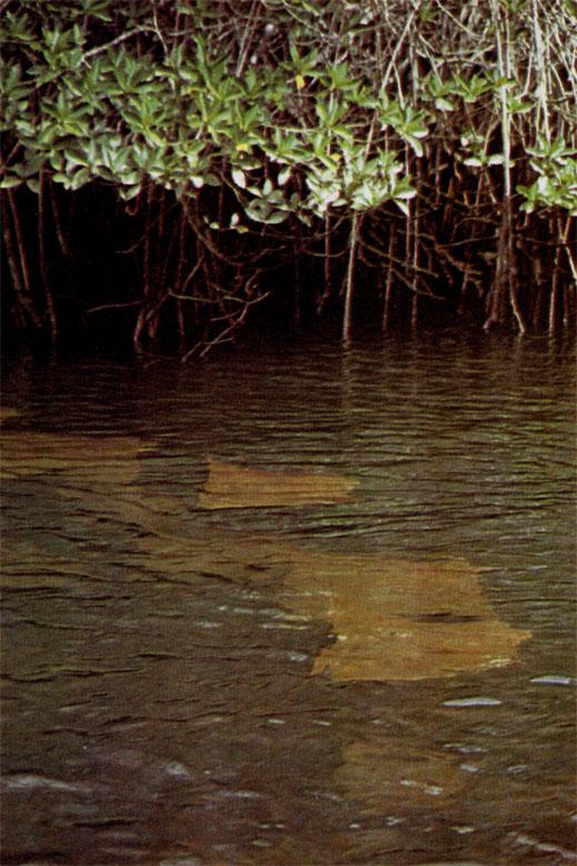 Фото №4 - Про краснозобых фрегатов, остров «голубых лапок» и «аквариум Айялы»