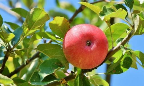 Фото №1 - Специалисты выяснили, где лучше покупать яблоки