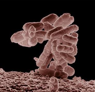 Фото №1 - Америка страдает от кишечных бактерий