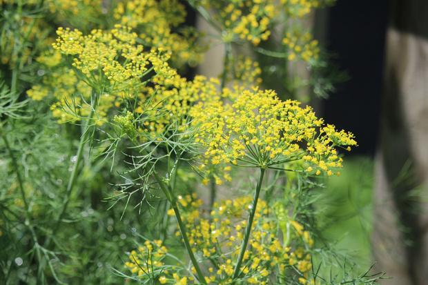 Фото №5 - 20 растений, которые отпугивают вредителей с грядок