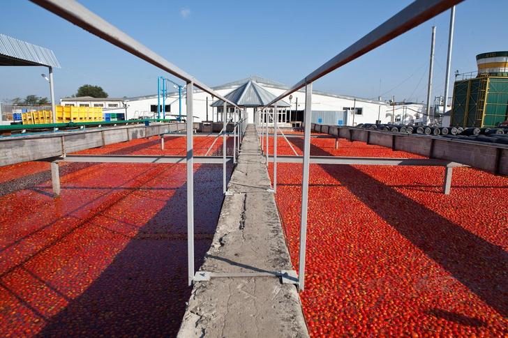 Фото №1 - Необычная экскурсия: как помидор становится томатной пастой ТМ «Помидорка»