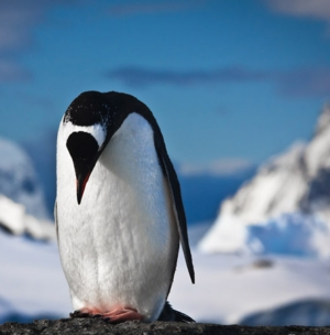 Фото №1 - Пингвинья печаль