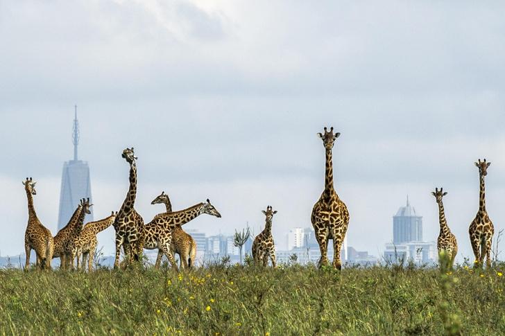 Фото №1 - Жирафы и небоскребы