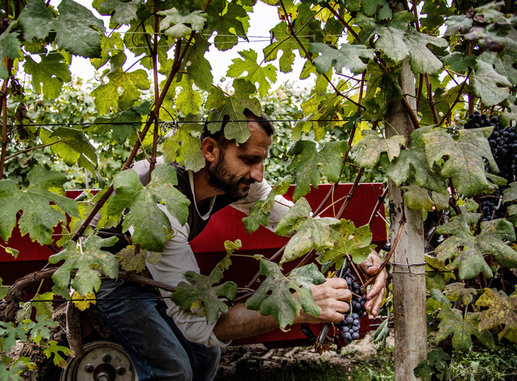 Фото №10 - Соседи по винограднику: борьба Бароло и Барбареско