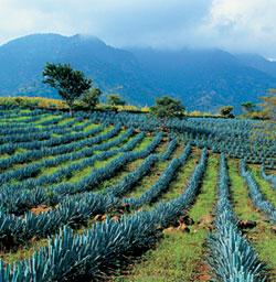 Фото №2 - Дар голубой агавы