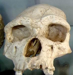 Фото №1 - Homo habilis не был предком homo erectus