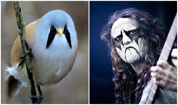 Фото №1 - Усатая синица: птица, которая по мнению Интернета, выглядит как участница норвежской метал-группы