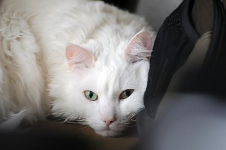 Фото №9 - Почти как люди: самые умные породы кошек